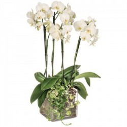 ORCHIDEE 4 BRANCHES BLANCHES